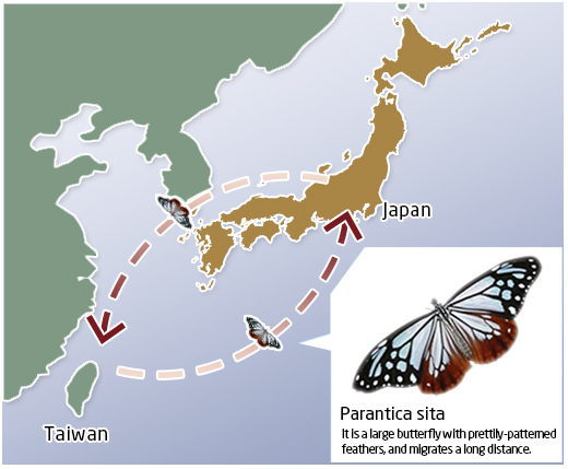 It is a large butterfly with prettily-patterned feathers,  and migrates a long distance.